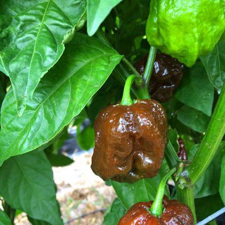 cultivar 7 pot primo douglah