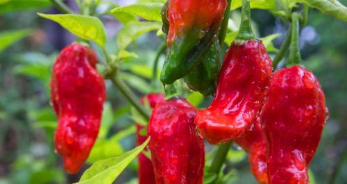 cultivar chile fantasma