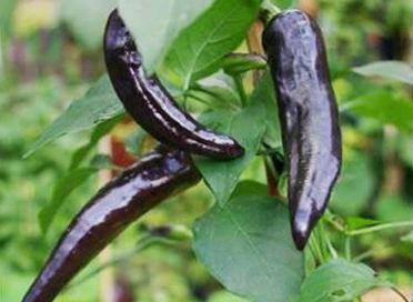 cultivar chile pasilla