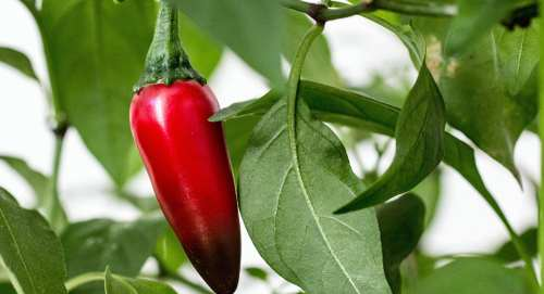 cultivar jalapeño