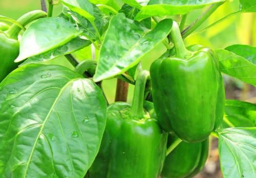 planta pimiento verde